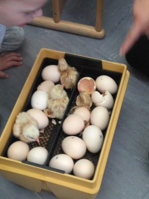 Imatge de la notícia la gallina i els pollets